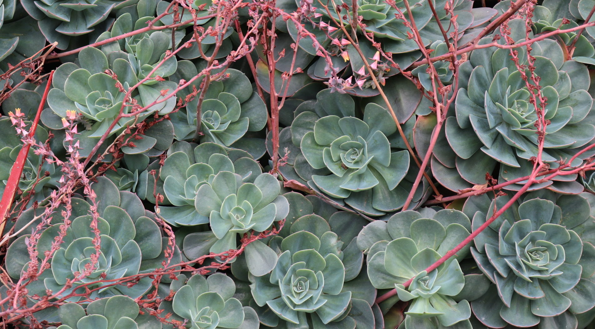 Green Succulent Plants with Red Shoots